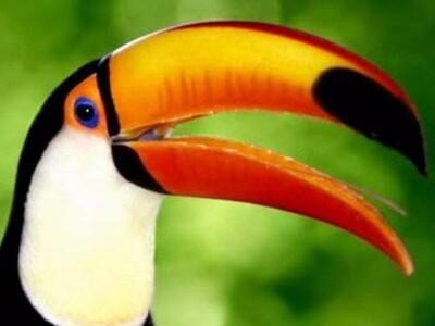 鵎鵼 巨嘴鸟-3d打印模型